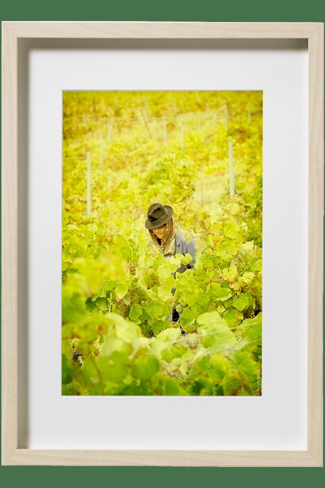 Une vendangeuse portugaise au milieu des vignes d'Evora dans l'Alentejo.