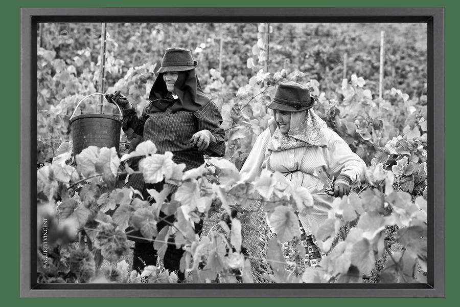 Dans les Vignes, les vendangeuses savourent la bonne humeur dont elles ont le secret malgré un travail difficile.