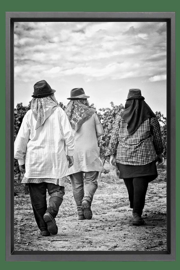 Après le repas 3 vendangeuses regagnent leur rang de vigne pour la coupe.