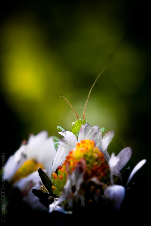 Une petite sauterelle laisse dépasser un oeil derrière un bouton de marguerite.