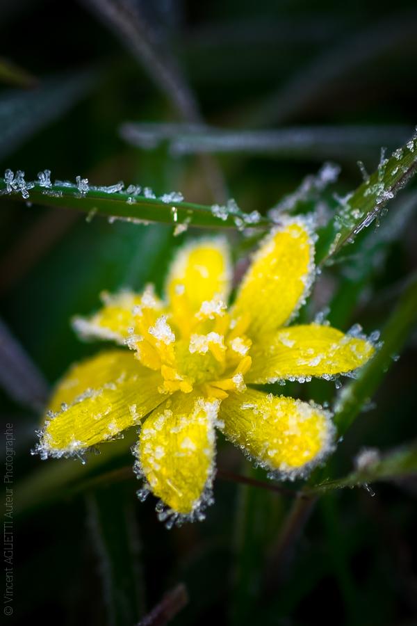 Un petite fleur jaune prise dans le givre.