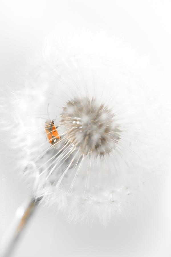 Un gendarme prisonnier dans une fleur de pissenlit