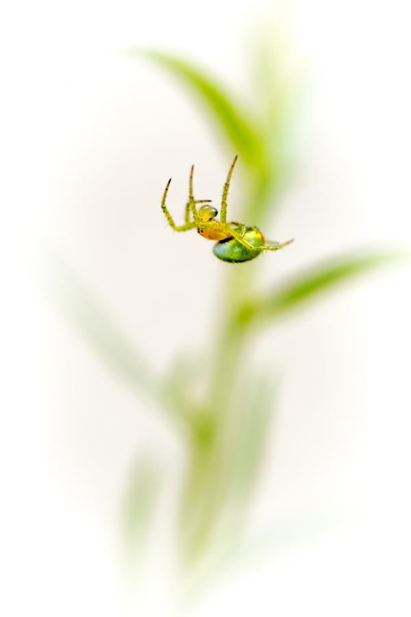 Une araignée donnant l'impression de faire une chute sur le dos.