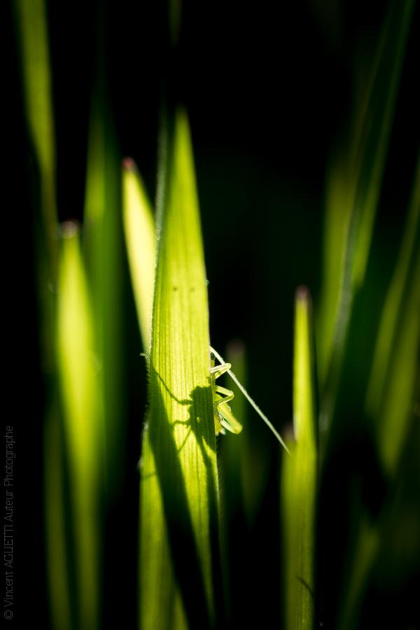 L'ombre d'une sauterelle en contre jour derrière des herbes grasses.