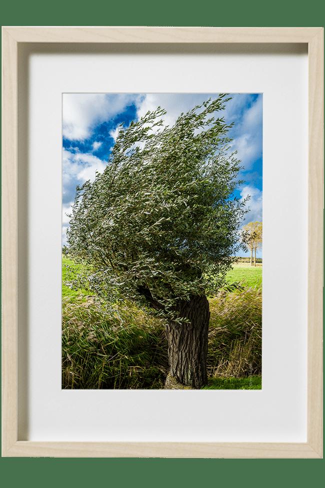 Ce petit arbre prend sa forme dessiné par le vent du nord. Il ornera les paysages du plat pays qui est le sien.