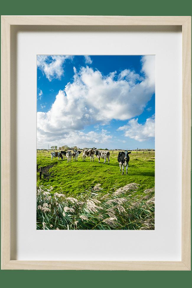 Un joli troupeau de vaches flamandes pose pour le photographe.le ciel est chargé de nuages.