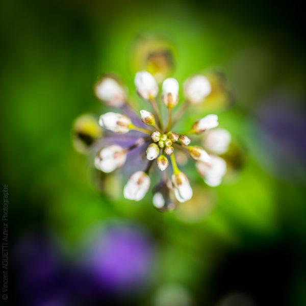 Boutons Blancs. Premiers boutons du printemps sur fond vert et mauve.