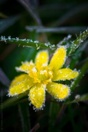 Dernier Gel. Un petite fleur jaune prise dans le givre.
