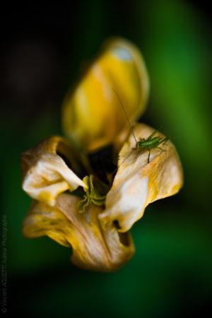 Visite. Tulipe desséchée visitée par une sauterelle.