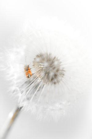 Le Prisonnier. Un gendarme prisonnier dans une fleur de pissenlit