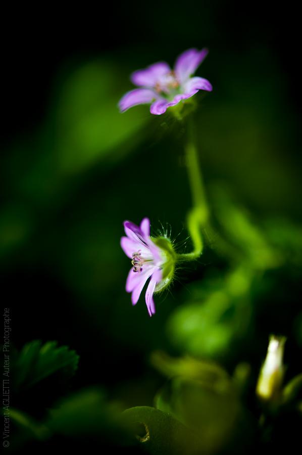 Deux petites fleurs mauves sur fond noir.