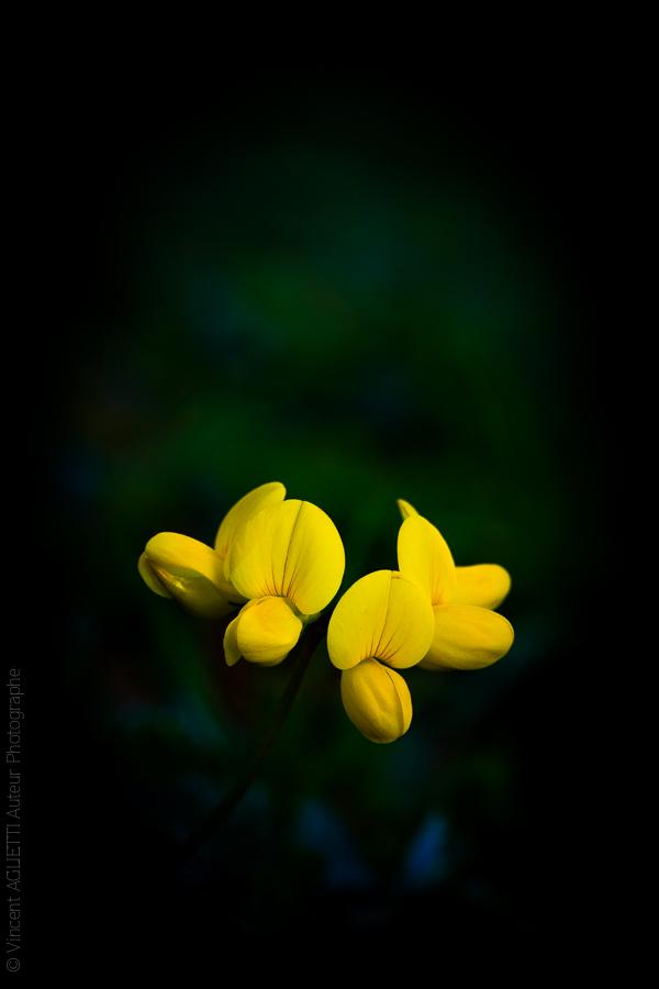 Pétales d'une petite fleur jaune sur fond noir.