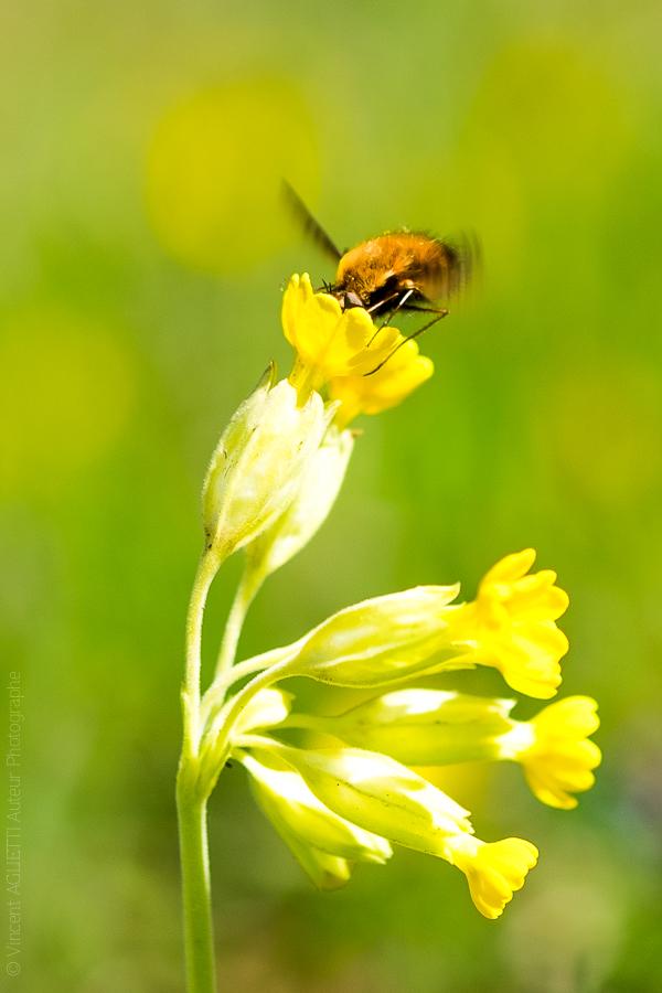 Plaisir du Printemps. Un Bombyle ivre de nectar accroché à un coucou.