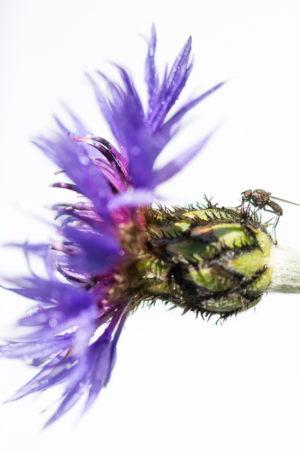 Revue de Printemps Corona Garden. Une mouche sur un bleuet sur fond blanc.