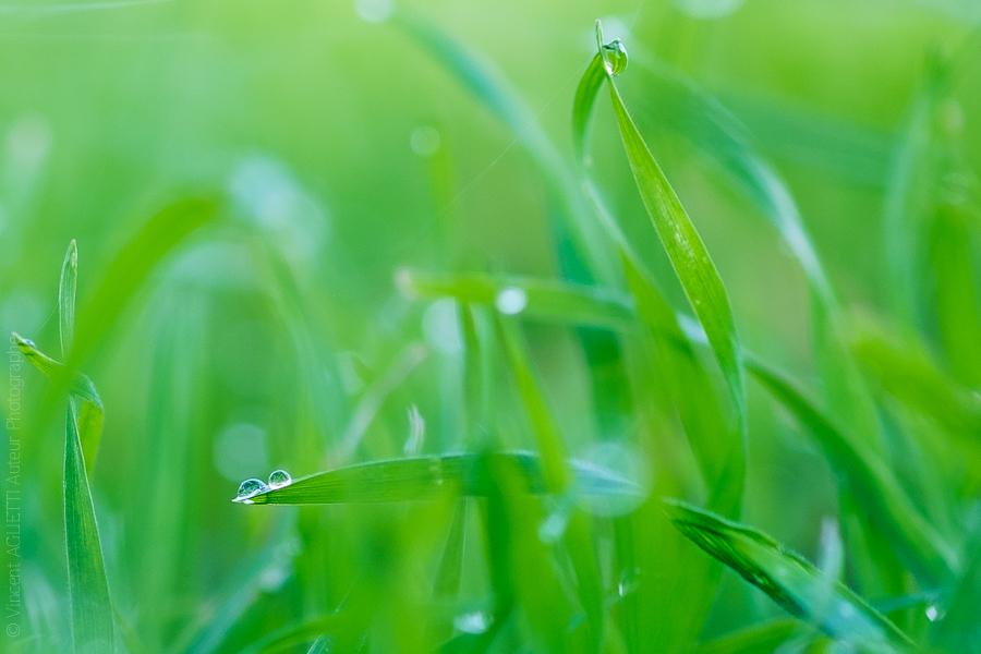 Brins d'herbes en contorsion recouvert de la rosée matinale.
