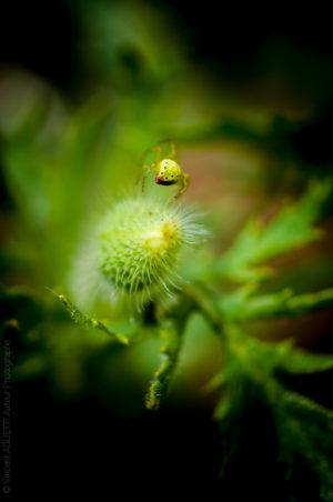 Sur la Pointe.Une araignée en équilibre sur un bourgeon acéré prend la tangente.