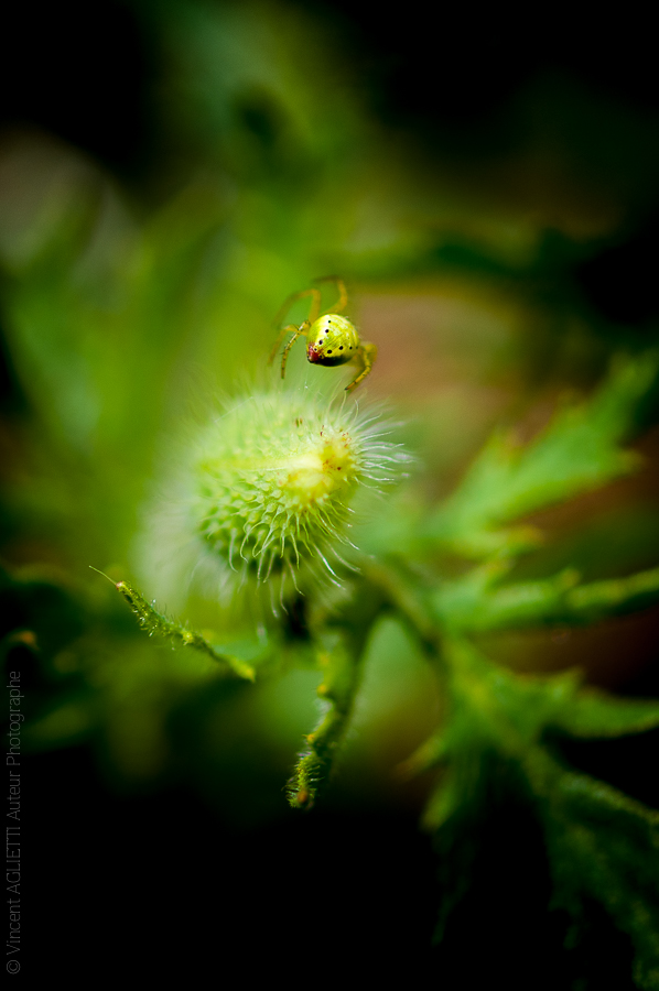 Une araignée en équilibre sur un bourgeon acéré prend la tangente.