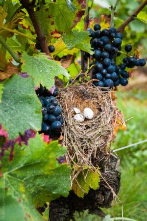 Pâques aux Vendanges. Un nid perdu dans les vignes de Nuits Saint Georges en Bourgogne.