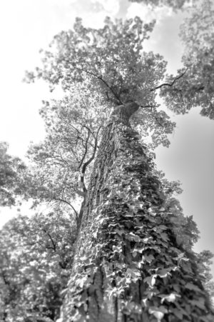 Géant de Bois. Un arbre centenaire dans un parc tutoyant le ciel.