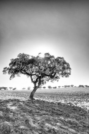 Champ de liège. Un décor typique de l'Alentejo, les champs de chêne liège