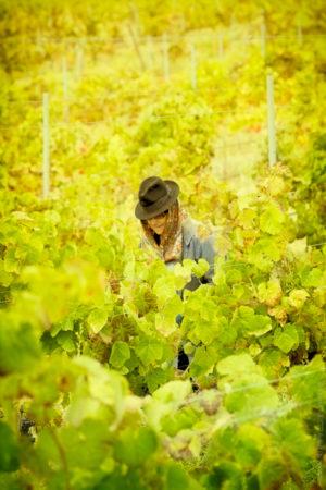 Vignes du Sud. Une vendangeuse dans un océan de vigne.