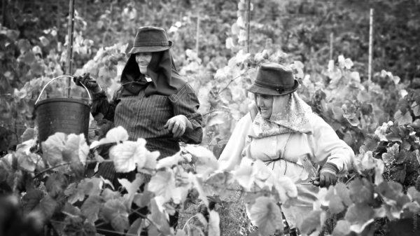 Dans les Vignes. Le travail est rude, mais la bonne humeur s'impose.